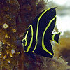 angelfish - french juvenile