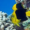 angelfish rock beauty