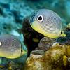butterflyfish foureye