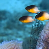 damselfish - bicolor