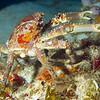 crab - king