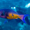wrasse - Creole