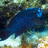 parrotfish - midnight blue