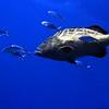grouper - black and bar jacks