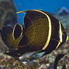 angelfish  french juvenile 2