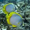 butterflyfish  spotfin