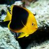 anglefish  rock beaury