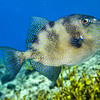 triggerfish queen