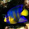 angelfish   queen young juvenile