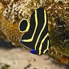angelfish  french juvenile