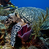 turtle hawksbill and yellow cheek wrasse