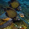 turtle hawksbill with french angelfish