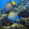 angelfish - queen