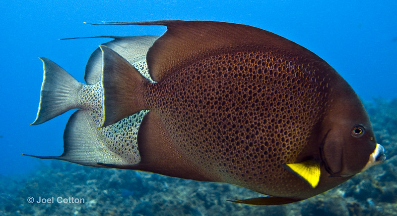 angelfish - gray