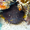 toadfish - splendid