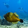 filefish - whitespotted