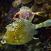 honeycombedcowfish