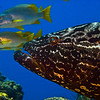 black grouper and school masters