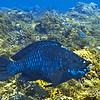 dnightparrotfish
