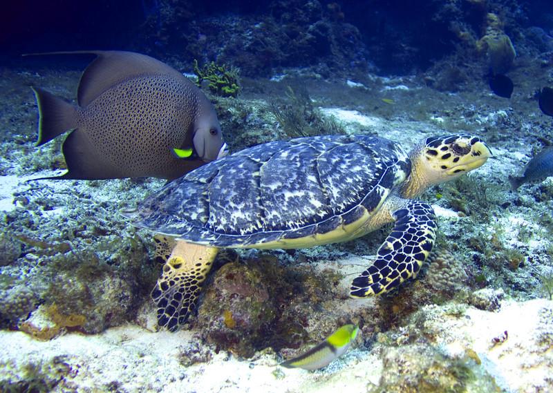 turtle - hawksbill and gray angelfish