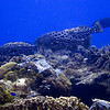 black groupers hunting