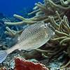 cowfish honeycombed