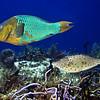 parrotfish rainbow and scrawled filefish