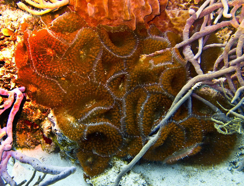 brownzoanthid