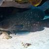 soapfish greater