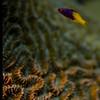 juvhogfish