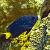 damselfish - yellowtail