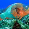 giant parrotfish