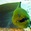 moray eel - green