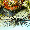 lionfishtoadfish