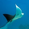 eagle ray rising