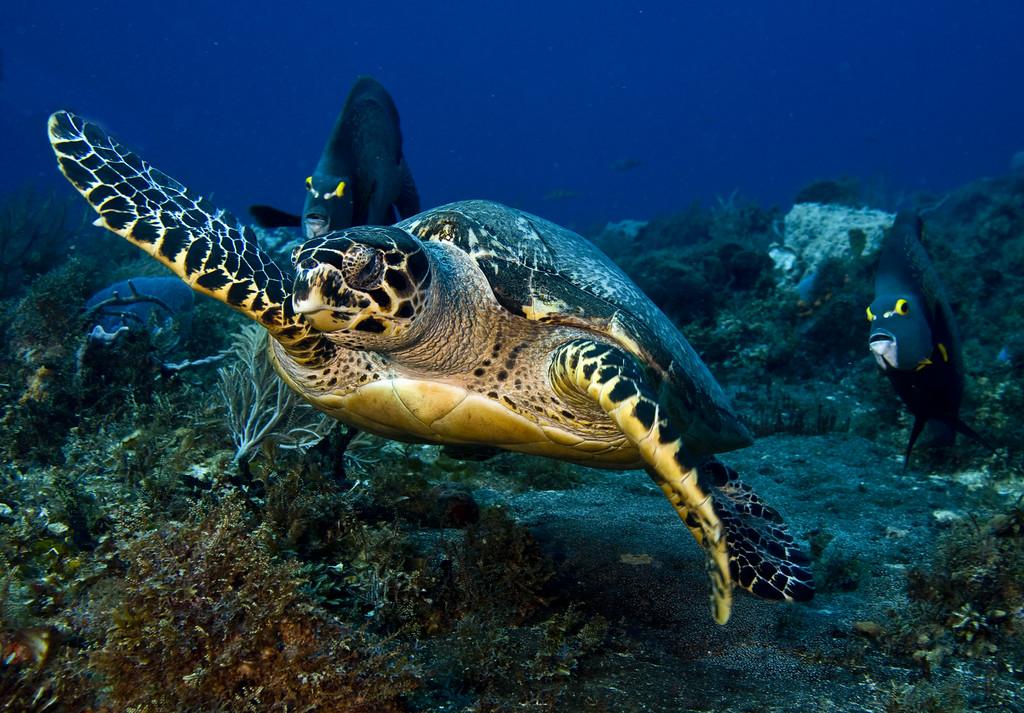 29-turtle - hawksbill 2