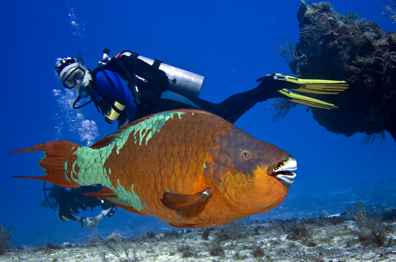 parrotfish rainbow and diver