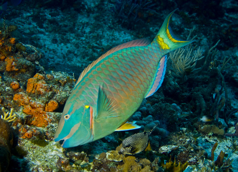 parrotfish - stoplight parrotfish