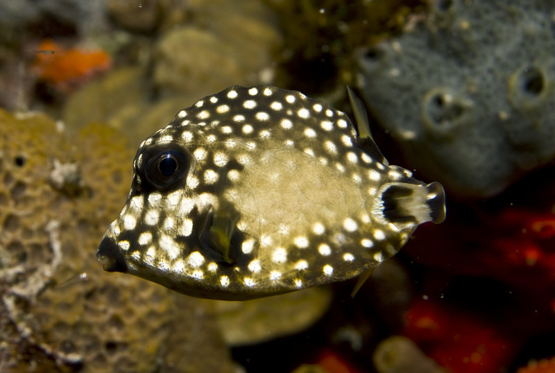 trunkfish - smooth trunkfish