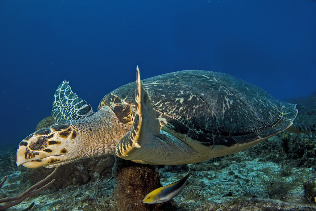 turtle - hawksbill turtle
