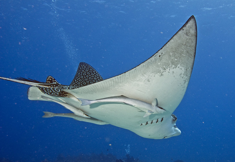 ray - spotted eagle ray and  sharksucker remoras 2
