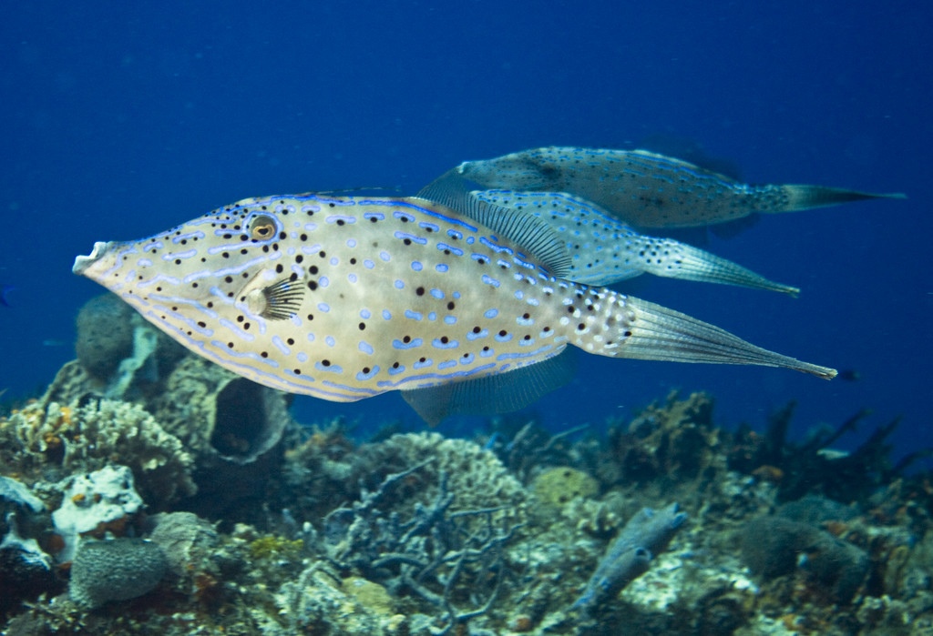 52-filefish