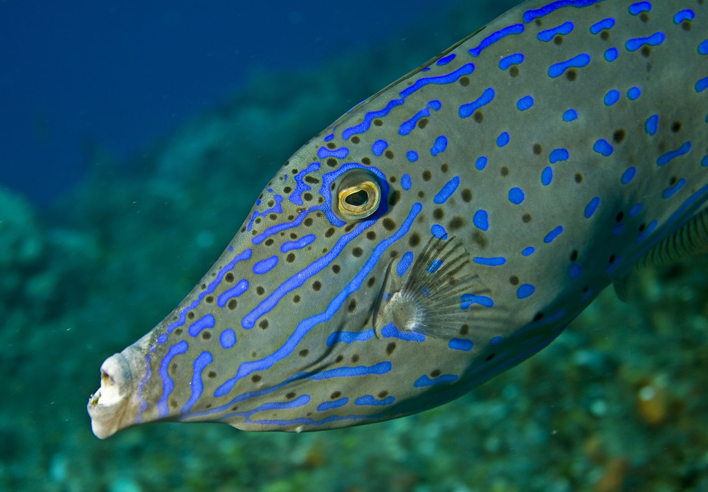 filefish - scrawled