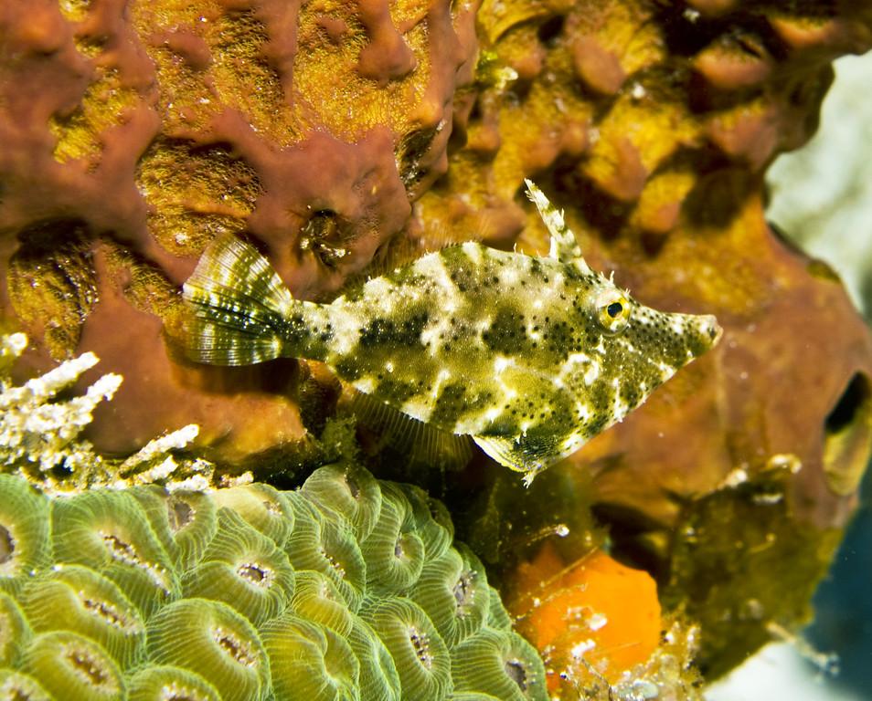 filefish - slender