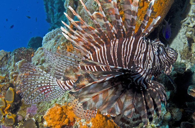 lionfish3
