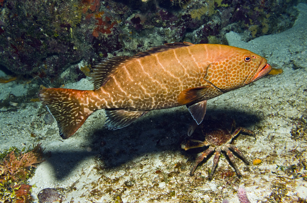 1-grouper tiger and crab