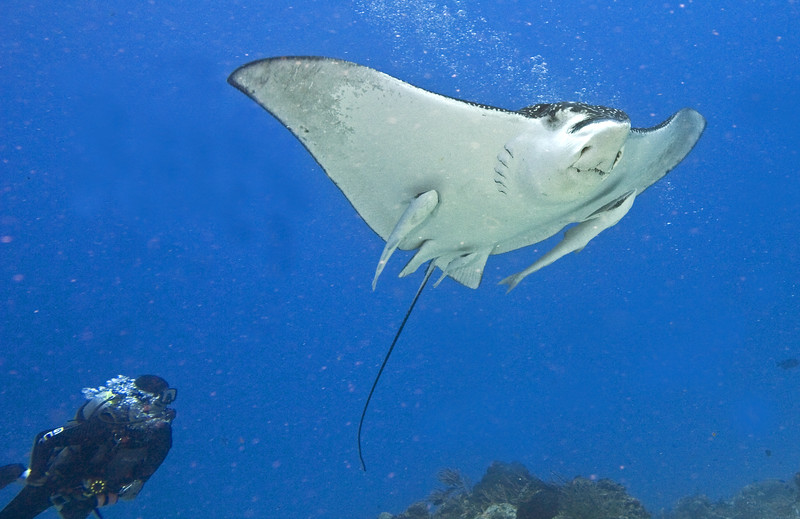 ray - spotted eagle ray and remoras