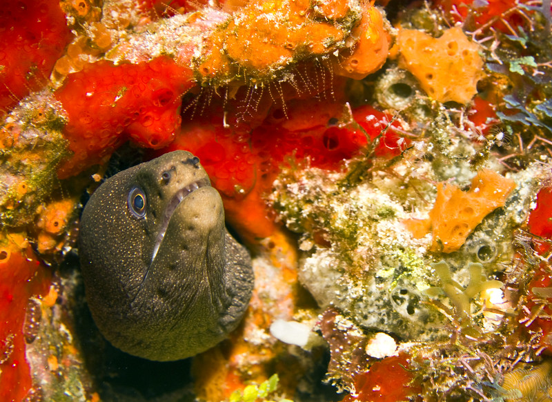 eel - goldentail moray eel