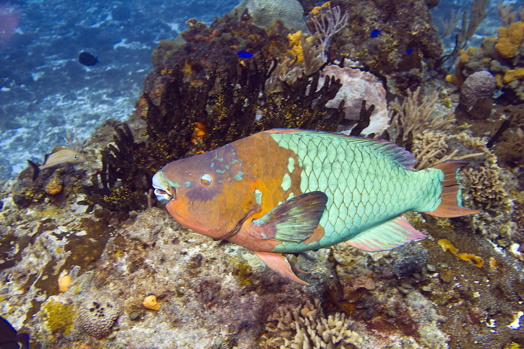 17-parrotfish- rainbow 2
