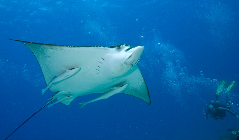 ray - spotted eagle ray